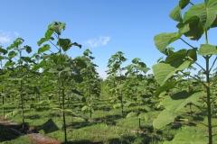paulovnija-drvo-005