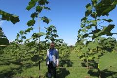 paulovnija-drvo-10