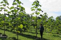 paulovnija-drvo-13
