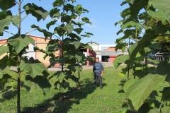 paulovnija-drvo-14