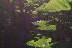 paulovnija-drvo-19-e1506500886541