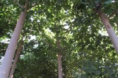 paulovnija-sadnice-4-1
